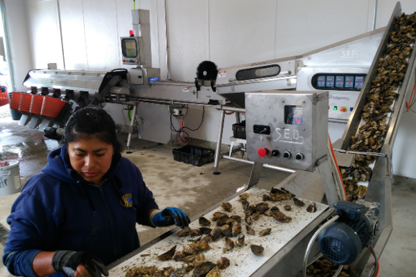 SED - Grading Oysters