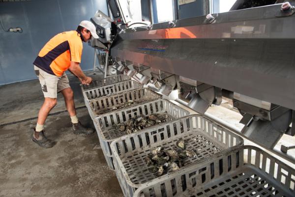 SED - Modern Oyster Farming