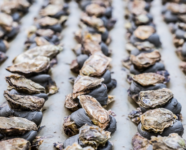 Detail small oysters in production