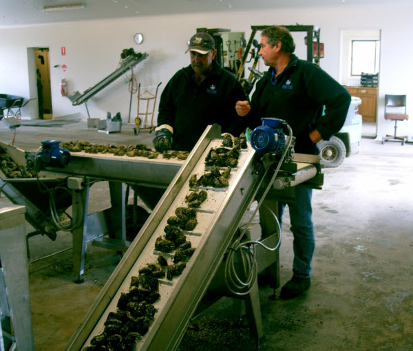 Workers using an oyster machine