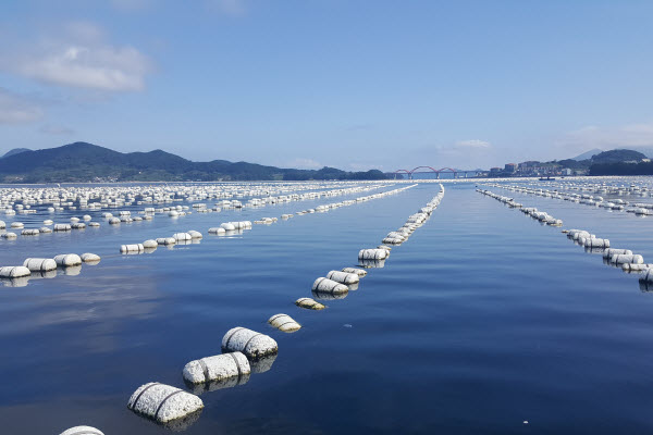 Oyster farming in the sea