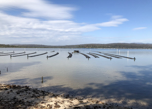 A big farm of the oysters