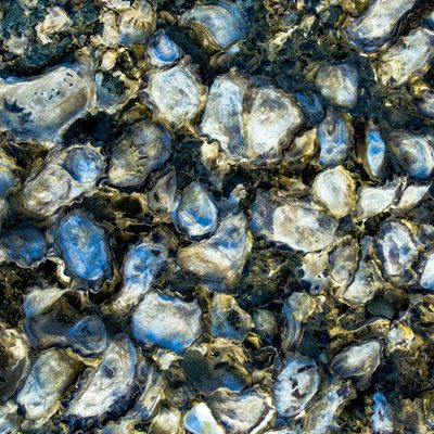 How an oyster grading machine can help overcome oyster farming challenges
