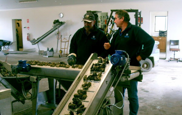 Men working on a machine with Oysters