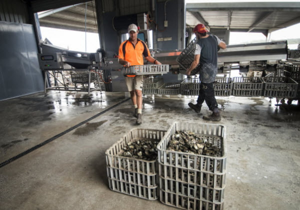 Arranging Oyster Shells at Shell Equip