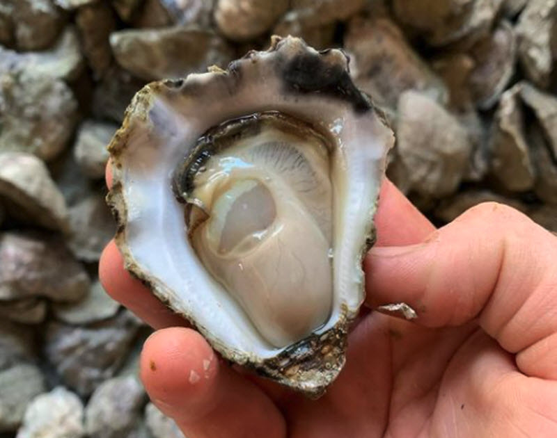 Hand of a man holding an Oyster